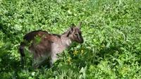 nos petites chèvres