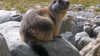 une marmotte au Lauvitel